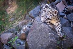 Li'l snep on a rock (Cloudtail the Snow Leopard) Tags: schneeleopard zoo neunkirchen tier animal mammal sugetier katze cat feline irbis snow leopard groskatze big panthera uncia cub kitten young jung
