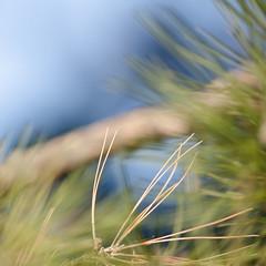 Pine Tree (veselin.vatkov) Tags: pine tree autumn bulgaria