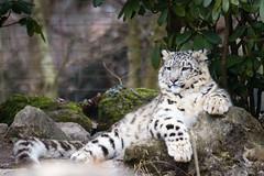 Mohan (Cloudtail the Snow Leopard) Tags: zoo zurich zürich tier säugetier animal mammal cat bigcat katze groskatze raubkatze schneeleopard snow leopard irbis panthera uncia mohan cloudtailthesnowleopard