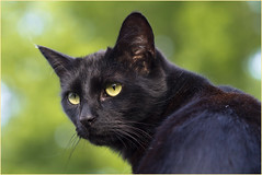 Neighbourhood watch .... (Jan Gee) Tags: black cat kat chat noir kitty gato pip gata katze gatto poes kot zwarte noire schwarze mygearandme blinkagain