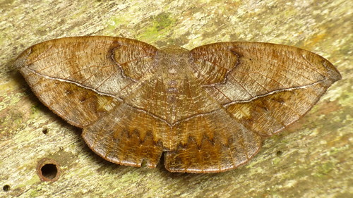 Leaf imitating Geometer Moth