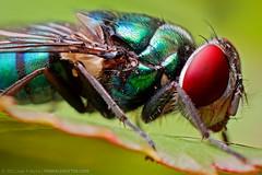 (Techuser) Tags: macro nature animal bug insect backyard close reverse mosca soligor 2835