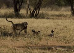"Baboons (susan yeomans) Tags: africa canon wildlife safari 7d baboon namibia etosha okonjima ""canon reserve"" etoshanationalpark 7d"" ""okonjima"