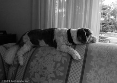 Relaxed guard (Canadian Dragon) Tags: family summer portrait blackandwhite bw dog canada relax july couch sofa saskatoon saskatchewan visiting relaxed lookingout splayed flopped debsplace 2013 topof ontopof slta77v