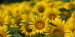Shower with sunflowers (tubasa-wings) Tags: flowers summer flower nature sunflower blinkagain bestofblinkwinners blinksuperstars