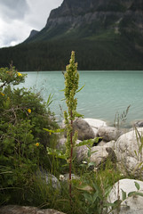 Docks (lacey underall) Tags: plant canada field docks britishcolumbia rockymountains polygonaceae lakelouise canadianrockies yohonationalpark rumex caryophyllales needsid