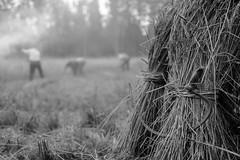 Rukiinleikkuu (Marko Haapalehto) Tags: lyhde kuhilas kaavi metsähallitus perinnetila telkkämäki kaskiperinnetila lyhteet