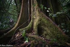 Strypfikus,  Kalinzu forest reserve, Uganda (Hans Olofsson) Tags: africa wild tree nature rainforest natur adventure ficus afrika uganda baum träd fikus kalinzuforest kalinzuforestreserve
