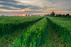 (Callaghan69) Tags: uk longexposure morning field barley clouds sunrise landscape dawn countryside nikon scenery colours northumberland le daybreak whalton barleyfield northeastengland tokina1116 nikond7100