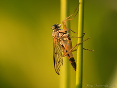 Insect (Oliver Deisenroth) Tags: macro nature insect fly fliege snipefly