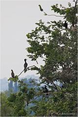 Cormorans savoyards