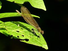 Microcosmos 4 (Arkadious) Tags: macro nature insect dragonflies dragonfly odonata
