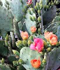 Prickly Pear (lamarstyle) Tags: arizona cactus southwest sedona iphone 2014 lamarstyle
