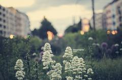 Bersarinplatz (ludwig.troller) Tags: city flowers urban plants berlin grass 50mm evening nikon bokeh nikkor friedrichshain eastberlin ostberlin bersarinplatz d7000