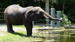 African Elephant (amateur photography by michel) Tags: pictures africa park camera new trip travel family flowers vacation people elephant nature animals gardens buildings photography zoo downtown day riverside florida photos pics stjohns images historic trail fotos transportation jacksonville fl jax duval stjohnsriver rivercity jacksonvillezoo firstcoast duvalcounty jacksonvillezooandgardens iwantjacksonville