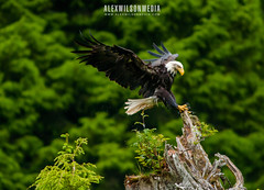 Bald Eagle (alexwphoto) Tags: trip cruise usa alaska eagle wildlife ak tongass