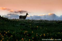 SAYING GOOD  NIGHT TO THE SUN (Aspenbreeze) Tags: sunset mountains colorado wildlife hill doe deer wildanimal does deers femaledeer coloradowildlife aspenbreeze moonandbackphotography bevzuerlein