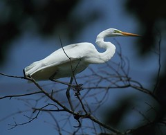 2014_07_23_9999_315 gw-3 (Explore # 57) (george_gww) Tags: greategret ardeaalba