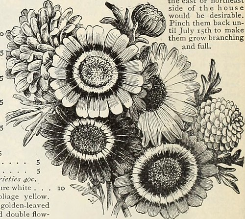 "Image from page 47 of ""Vick's garden and floral guide"" (1898)"