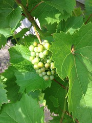 Our grape vine (alex) Tags: