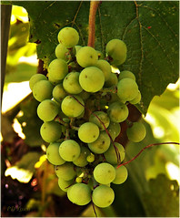 Our grapes (MissyPenny) Tags: food fruit garden grapes buckscounty chardonnay winegrapes bristolpennsylvania