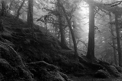Haunted (zh3nya) Tags: trees blackandwhite film fog analog forest 35mm washington woods atmosphere eerie ilfordhp5 mysterious pacificnorthwest orcasisland sanjuans sanjuanislands must pnw nikonfm2 fm2n moranstatepark mountconstitution washingtonstateparks