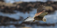 Kestrel in Flight (nick.linda) Tags: nature birds bokeh wildlife kestrels canon600d