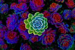 succulent (artfilmusic) Tags: plants succulent