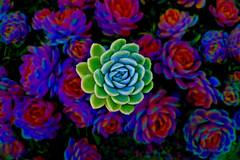 succulent (artfilmusic) Tags: plants succulent