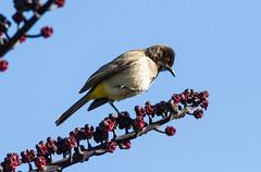 African Red-eyed Bulbu at Windhoekl IMG_2318 (grebberg) Tags: bird july fugl namibia windhoek bulbul 2014 pycnonotus pycnonotusnigricans africanredeyedbulbul
