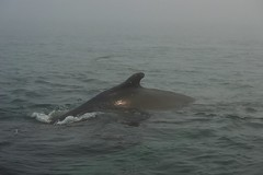 Grand Manan Island-Whale Watch Tour (nbstormchaser) Tags: ocean sea nature water animals fog marine wildlife newbrunswick whales humpback finback