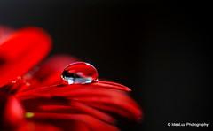 Red Desire (IdeaLuz Photography) Tags: red black flower water fleur rouge eau noir background sony ngc sigma drop petal transparency droplet 60mm fond transparence purity transluscent nex goutelette pureté challengegamewinner flickrunitedaward nex5t