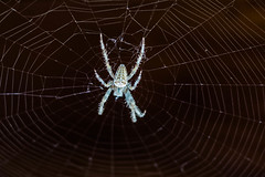 araigne (dbl133) Tags: macro spider samsung 1000 araigne toile nx