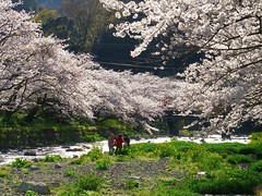 Cherry Blossom Street at Osawa Hot Spring (izunavi) Tags: japan   sakura cherryblossoms shizuoka izu    matsuzaki  shizuokaprefecture    matsuzakitown  cherryblossomstreet izunavitwitter izuphoto osawahotspring