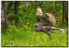 Great Gray Owl on a Mission (jeannie'spix) Tags: june owl greatgrayowl 2014 wildflowertrip june14 pvideo moosewilson wildflowerfavorite grandtetonsspring