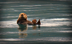 """""""Take a picture, it lasts longer!"""" (Luv Duck - Thanks for 15M Views!) Tags: cute furry sealife otter seaotter princewilliamsound alaskawildlife furryfacedcreatures"""