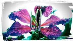 gotas de orvalho (M A N Travassos) Tags: flor orvalho gotasdeorvalho gotadeorvalho floreditada florcomorvalho