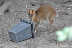 Chinesicher Muntjak (wuestenigel) Tags: zoo bin deer soil hirsch boden abfalleimer klner muntjak muntiacusreevesi