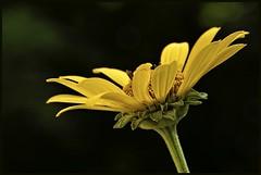 Saucer of Sunshine 9783 w (GlasseyeA) Tags: macro indiana wildflower tamron90mm benjaminharrisonstatepark sonya77