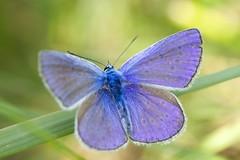 IMG_2209 (ullrichmartin) Tags: blue macro nature closeup butterfly insect wildlife natur falter makro insekt nahaufnahme schmetterling tagfalter blauling himmelblauerblauling
