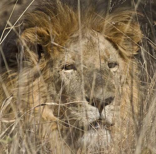 Lion Portrait , Welgfden_1244