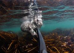 IMG_1922 (Andrey Narchuk) Tags: sea water island underwater friendship seal bering antur camander