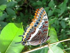 Charaxes jasius (ex-larva) (Lepsibu) Tags: nymphalidae
