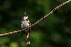 Red whiskered Bulbul_5484 (Swaminathan.M) Tags: india nature birds wildlife nilgiris bulbul kallar redwhiskered tamron150600