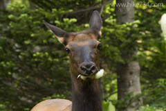 """Cow Elk • <a style=""""font-size:0.8em;"""" href=""""http://www.flickr.com/photos/63501323@N07/14902981431/"""" target=""""_blank"""">View on Flickr</a>"""