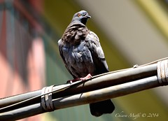 sumner (c.maffi) Tags: sun nature animals natura uccelli sole piccione tagsforlikes