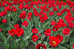 Field of red tulips (quinet) Tags: berlin germany 2013