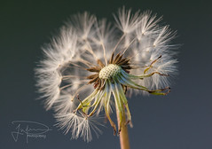 Make a wish (Photography by Jonathan Willner) Tags: flower macro closeup canon dandylion makeawish 180mm