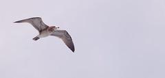 Scour (Hana Samurai) Tags: urban food bird japan fly seaside wings seagull hunting feathers  prey float shizuoka  survival izu avian atami  glide feedme ferryride    hatsushima   peninnsula