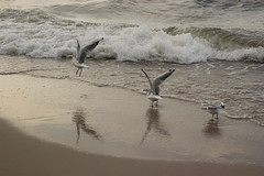 Liftoff (merlots) Tags: sea trois start liberty freedom see three meer seagull gull wave beginning liftoff illusion mwe oiseau welle fala oiseaux drei freiheit trzy fale morze larina larinae wolnosc larides laride libertz